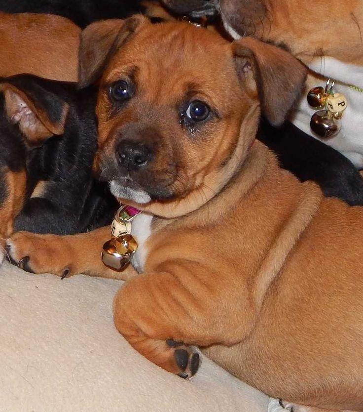15275a5a12398a56c00b4b9e7feaa623 beagle dog boxer dogs