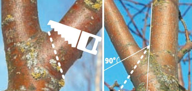 Вырезка на кольцо (слева) и удаление ветви сострым углом (справа)