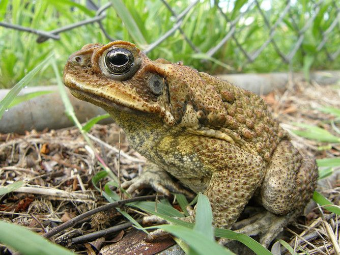 Cane and able – how superfit toads got the hop on evolution