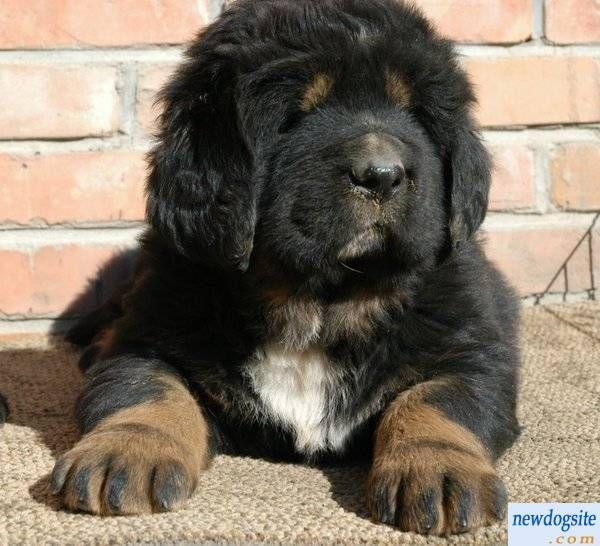 black and white tibetan mastiff puppies | Tibetan Mastiff ...