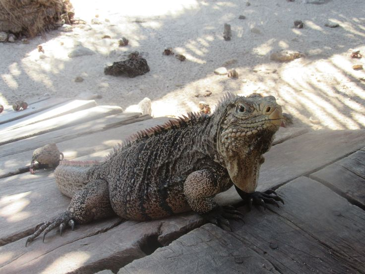 Read about :CRUISING THE CARIBBEAN, SNORKELING AND MEETING IGUANAS @ awanderingwidow.blogspot.com
