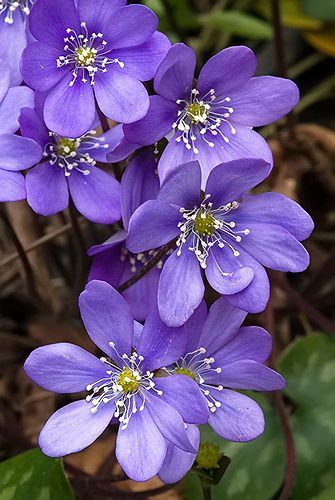 hepatica nobilis by javier vecino soler sinivuokko common hepatica kidneywort - Common Purple Garden Flowers