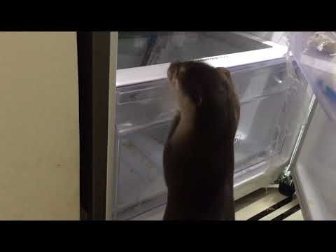 A Hungry Little Otter Opens the Refrigerator to Search Inside for a Hidden Stash of Yummy Fish