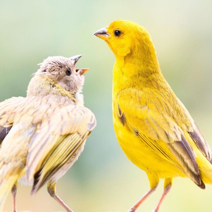 Birds portraits father and son . #bird #birds #portrait #animal #animals #animalphotography #birdsphotography #naturephotography #yellow