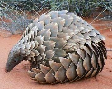 "Pangolins are the most trafficked animal on the planet. Amazing but threatened! Please no wildlife ""pets"""