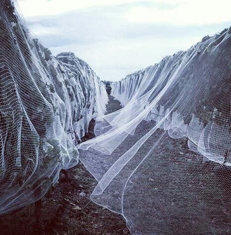 Ghostly netting in the Elephant Hill vineyard