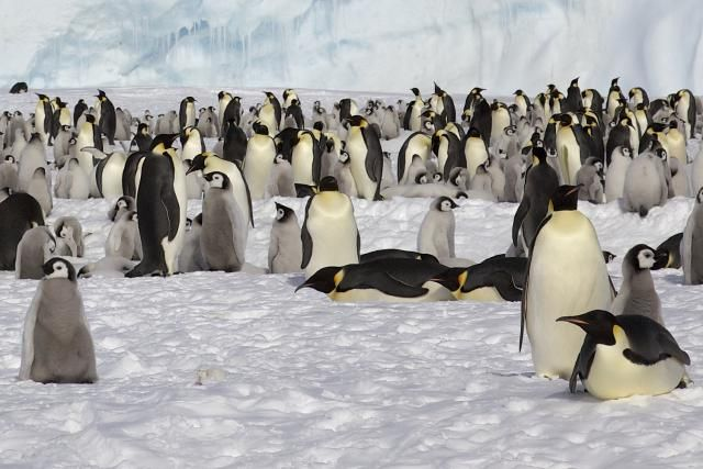 15 Fun Facts about Penguins: Emperor penguins are the most familiar penguin species.