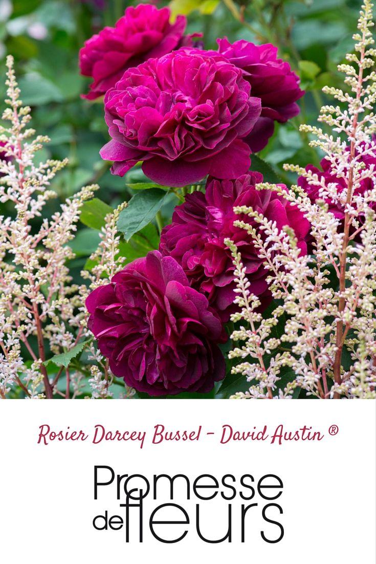 Rosier David Austin Darcey Bussel - Cette rose anglaise s'avère des plus résistantes. Ses fleurs, rondes et très doubles, arborent une teinte rouge cramoisi profond et velouté, fonçant en pourpre bleuté avant de faner. Ce buisson de taille modeste est bien remontant, il fleurit de juin à novembre, exhalant un parfum original. #rose #rosier