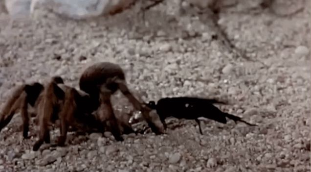 Witness The Epic Battle Between A Tarantula And A Spider-Hunting Wasp - Biology
