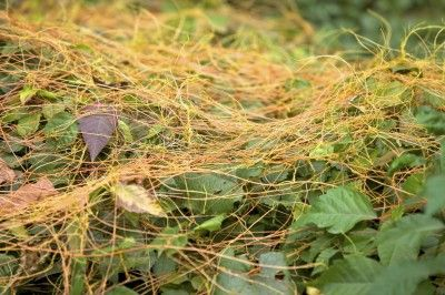Dodder Weed Control: How To Get Rid Of Dodder Plants - Dodder weed control and management is of paramount importance to many commercial crop growers. A parasitic annual weed, dodder afflicts many crops, ornamentals and native plants virtually decimating them. Find out how to get rid of dodder in this article.