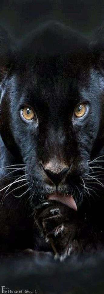 ~Black Panther | The House of Beccaria