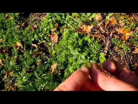 Survie - Les plantes sauvages comestibles - YouTube
