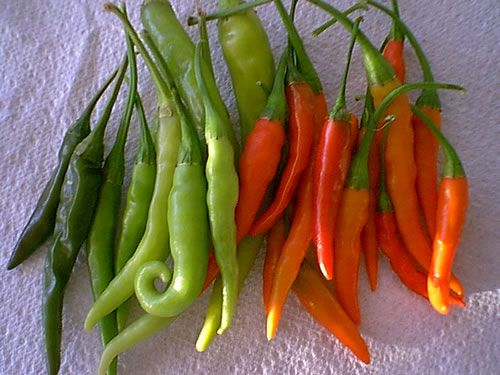 Tabasco Chili Peppers 30,000 - 50,000 Scovilles