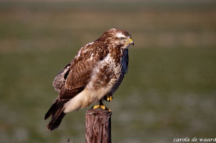 rijdend door de biesbosch belande deze buizerd op een paal. dan gieren de zenuwen toch door de keel om er een mooi plaatje van te schieten