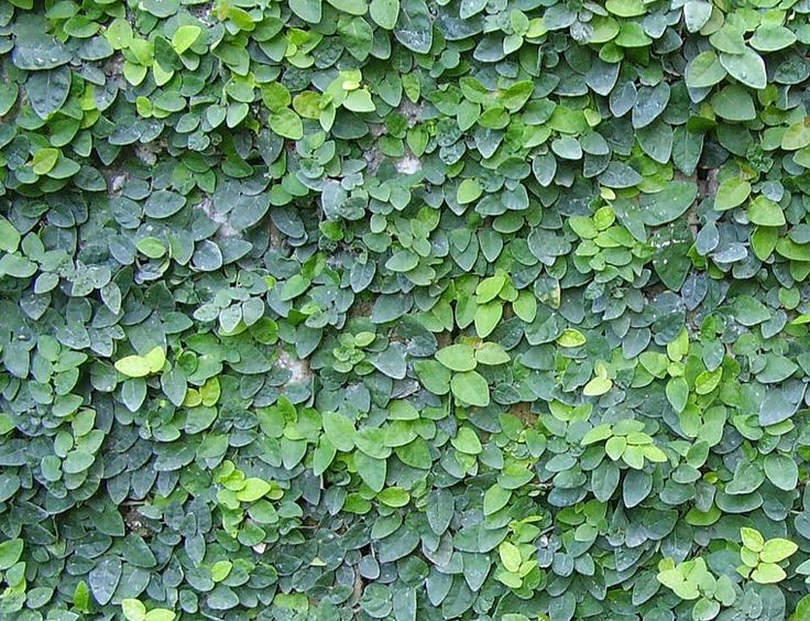 Ficus pumila - the vine that will attach onto he shadier fence by arial roots.