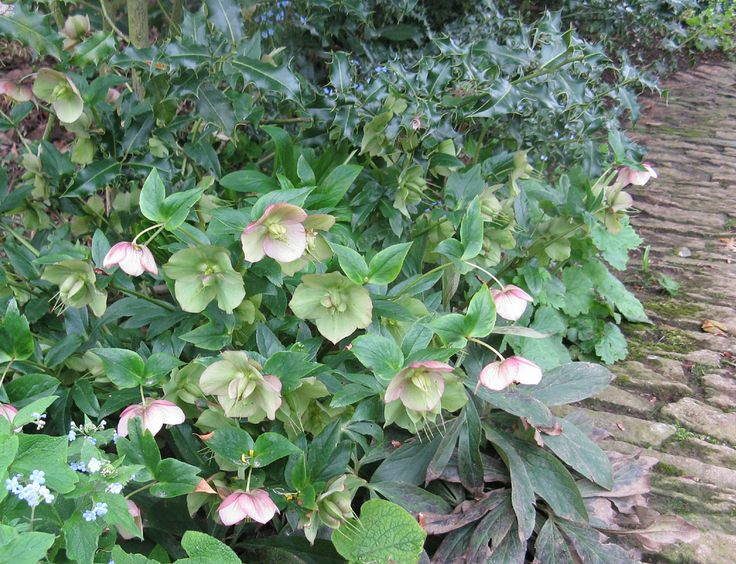 Hellebores (sometimes known as the Christmas or Lenten rose) can be found in various parts of Hidcote.