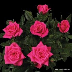 hot kiss kordana miniature roses from kordes roses have a. Black Bedroom Furniture Sets. Home Design Ideas