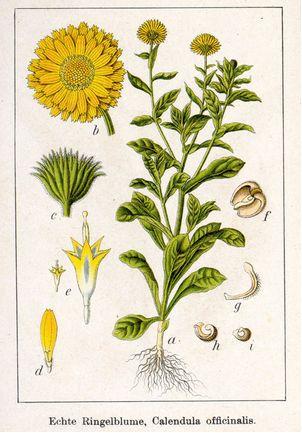Caléndula: propiedades medicinales y su cultivo ecológico