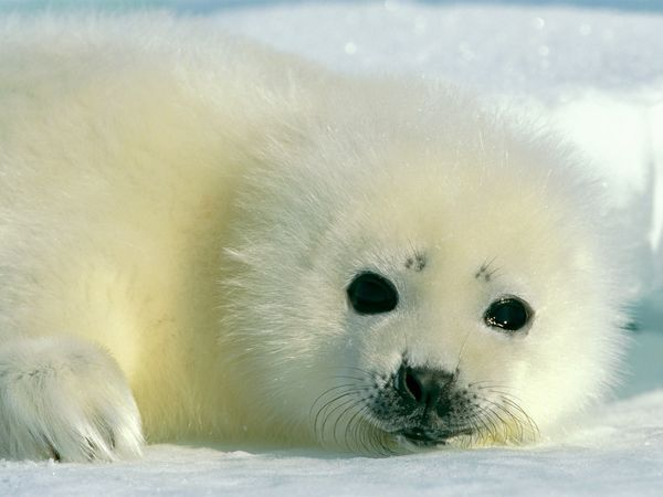 Baby Harp Seal    Photograph by Norbert Rosing