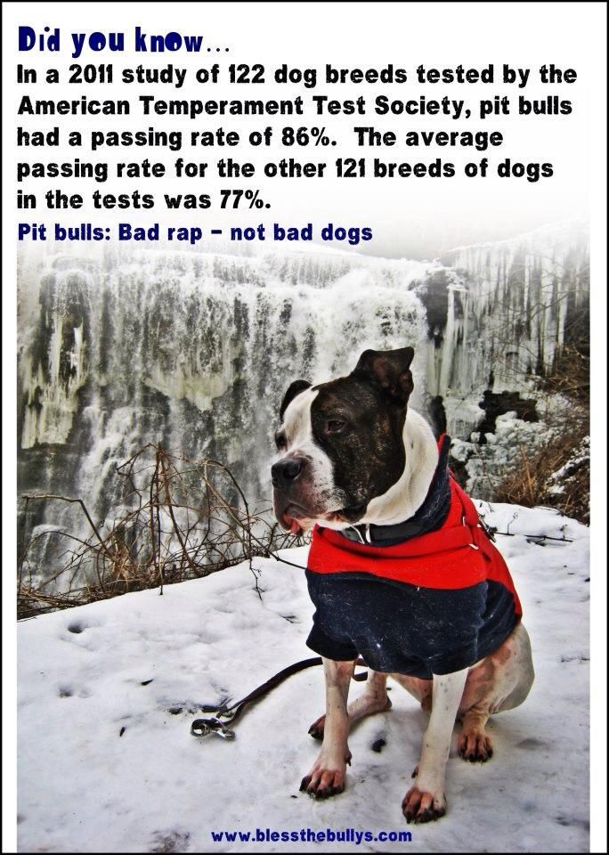 pit bulls bad rap Source: bad rap pin how, you might ask, could a dog that was bred to fight aggressively also be kind to humans the answer is actually in their breeding pit bulls that bit handlers were put down and of no use to the owners, so they were bred and trained to be gentle with humans — a trait that most are still well- known for.