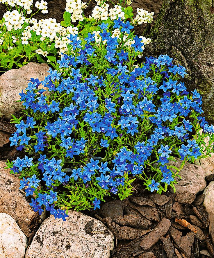 The 25 best Ground cover plants ideas on Pinterest Ground