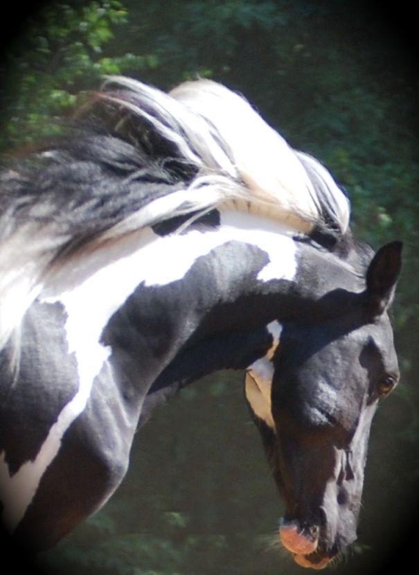 Black and white pinto horse - photo#22