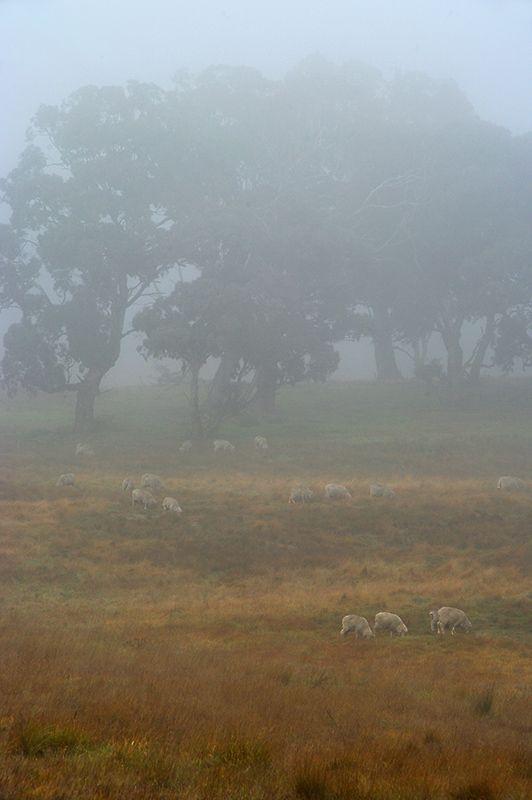 Winter grazing - Goulburn, New South Wales- Australia