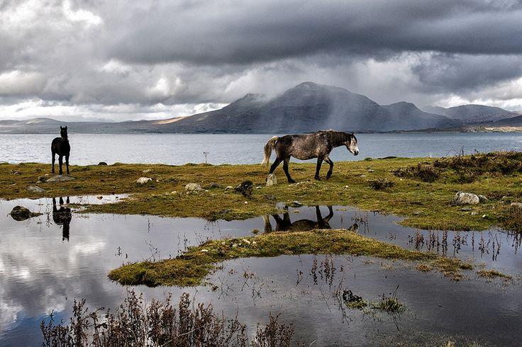 Connemara Ponies At Gurteen, Renvyle by Aoife Herriott on ArtClickIreland.com Irish Landscape Photography