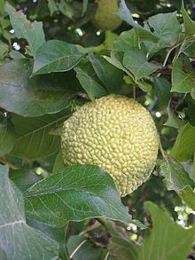 Bodark (also known as osage-orange or hedge-apple tree); the fruit repels insects as effectively as harmful pesticides!