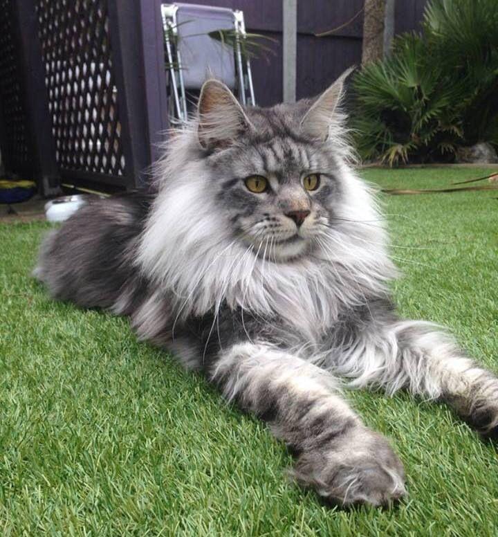 King Ragnar the Cat Yeah! Scandinavian Animals