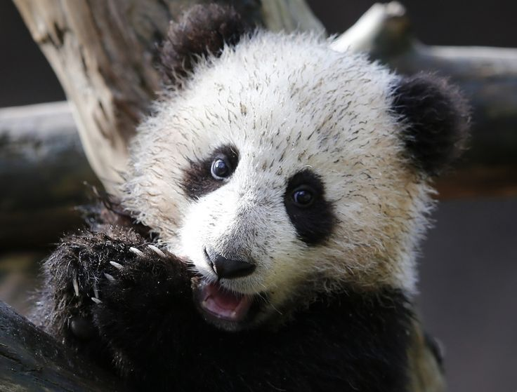 A somewhat muddy panda. | The 40 Most Adorable Baby Animal Photographs Of 2013