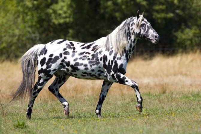Las razas de caballos Appaloosa se originan en Estados Unidos con caballos españoles criados por el pueblo Nez Percé, que selecionaban ejemplares de pelo moteado.