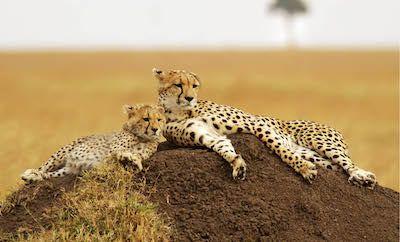 Het beste van Kenia  De naam van deze prachtige Kenia groepssafari zegt het eigenlijk al een complete safari waarbij u alle absolute hoogtepunten van dit fascinerende land gaat bezoeken. Een safari waarbij u naast een bezoek aan diverse wildparken ook zelf actief bezig kunt gaan! Lopend tussen het (ongevaarlijke) wild in Hells Gate National Park of tijdens een nature walk over de Manzooni plains. Tijdens uw wandelingen gaat u merken dat met name de zebras en giraffen u van een veilige…