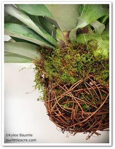Staghorn Fern String Planter - use grapevine ball w/ moss lining