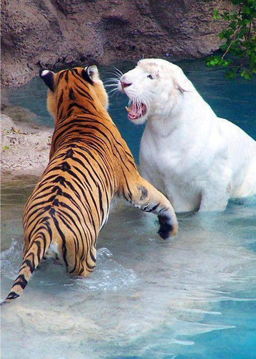 Tigre Albino e tigre de bengala