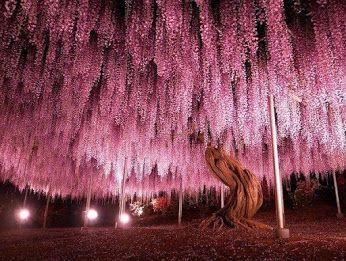 150-летнее дерево глицинии в Японии