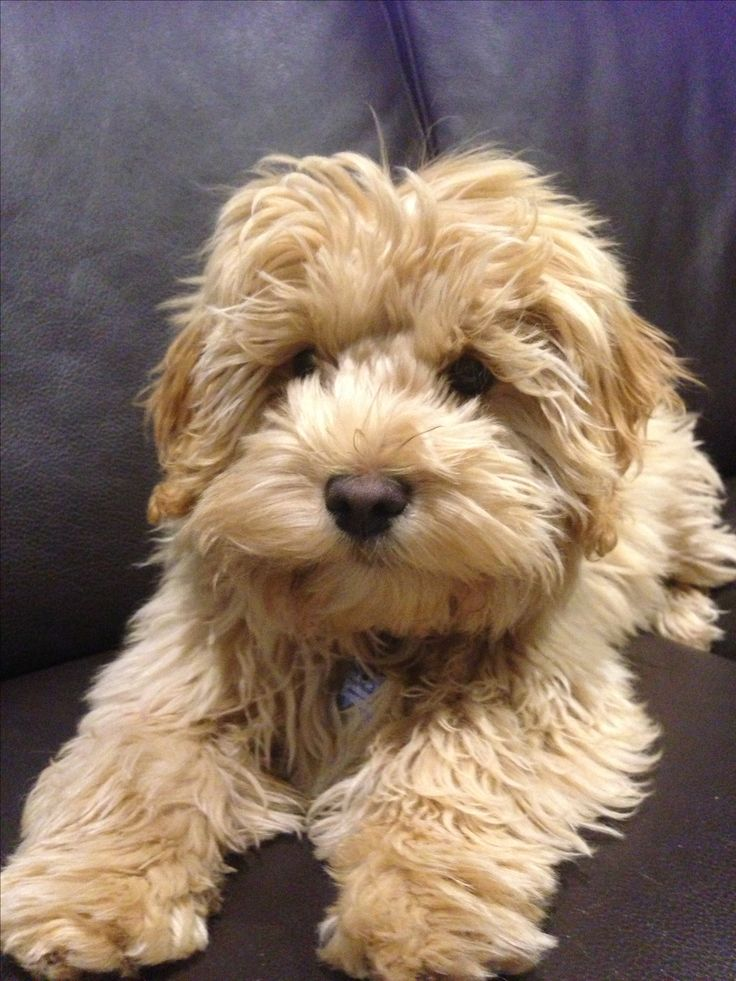 17 best images about cavoodle on pinterest around