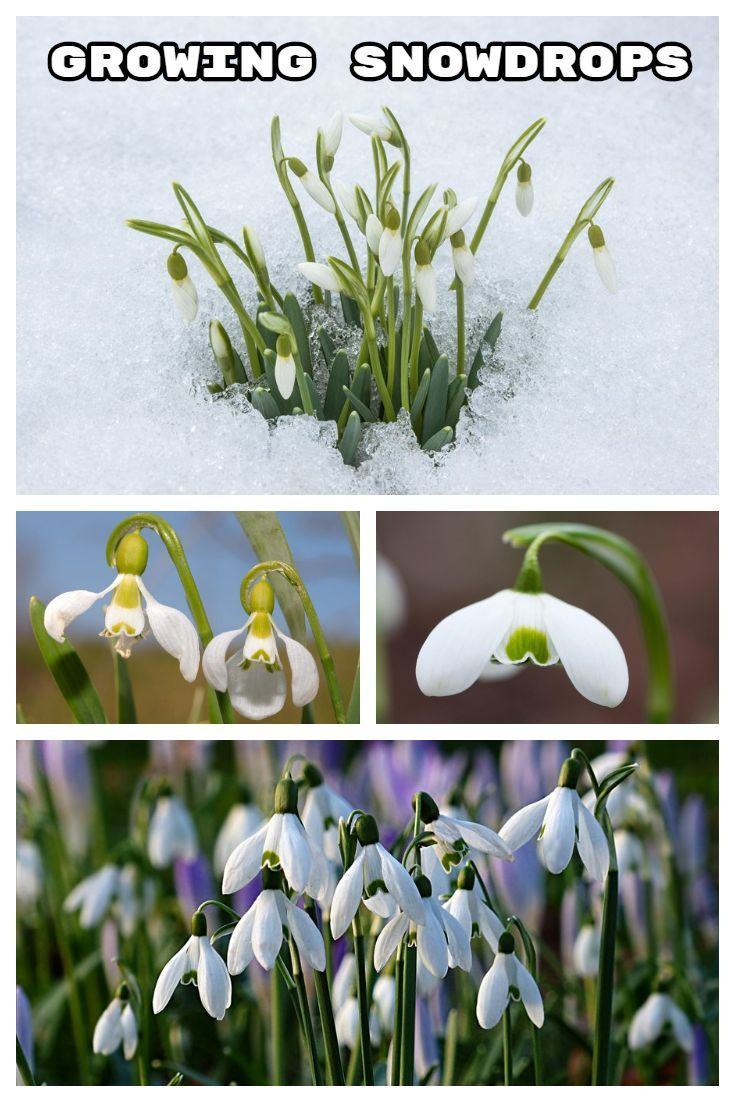 Learn How To Plant Snowdrop Galanthus Bulbs And Care For Them As They Grow In Your Garden These Perennials Are An Flower Garden Design Plants Planting Bulbs