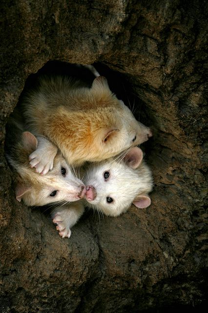 Family O possums:o) - What is this? Are these golden possums? Beautiful!