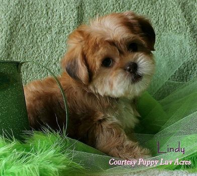 Shorkie puppy!!! I will name her Munchkin and she will be my baby :)