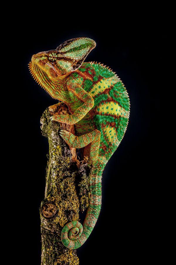 Yemen chameleon, by Arturas Kerdokas