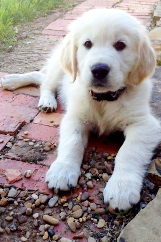 english cream retriever...So, so CUTE!!!!