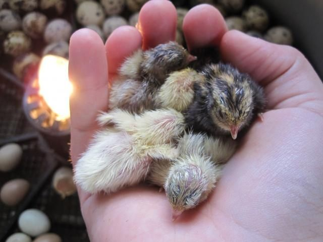 Chinese Paintedbutton Animal And Pet Corner Button Quail