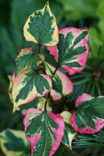 Houttuynia cordata 'Chameleon' - Chameleon Plant---container plant, only.