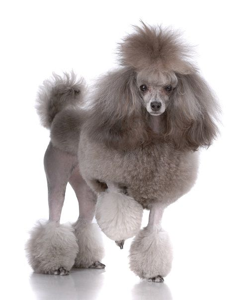French Poodle (Love Poodles I grew up with one just like this one, he was like a brother to me!!!)
