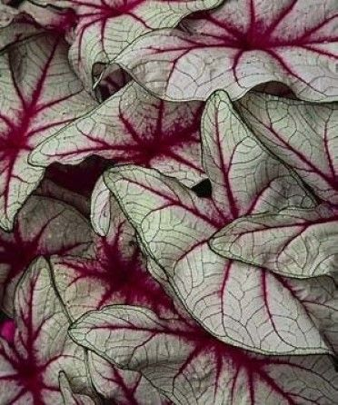 Best 25+ Caladium Garden Ideas On Pinterest | Garden Flower Plants,  Container Flowers And Cotton Candy Grass