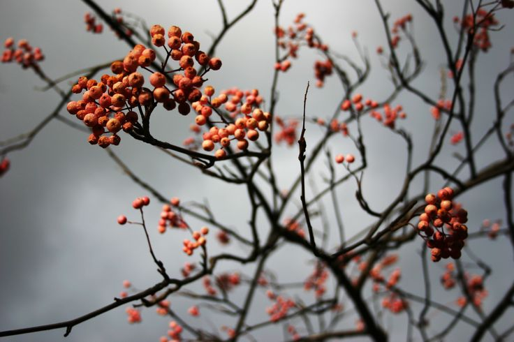 Rowan berries. by Lori Tuiavi'i Maxwell