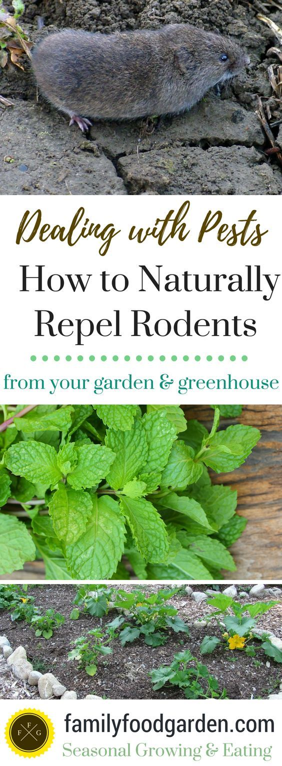 Natural Ways To Repel Rodents