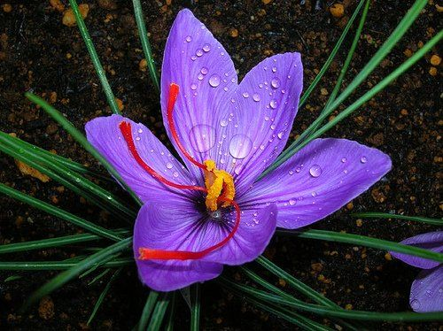 Saffron Crocus-Saffron Crocus does have a rightful place on the most expensive flowers list because its stamens are cultivated to produce the spice saffron, which is the most expensive spice in the world. Saffron costs $1,000 or around £600 per pound.