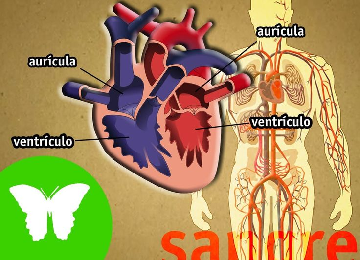 La Eduteca - El aparato circulatorio